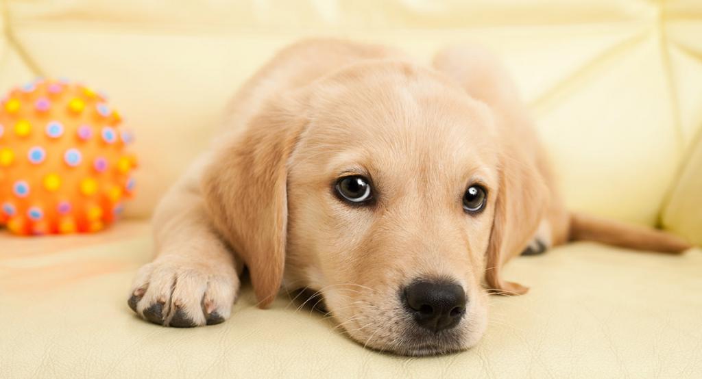 домашний питомец - милая собака